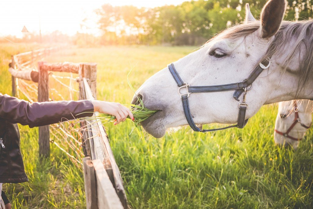 girl-feeding-a-gorgeous-white-horse-with-grass-picjumbo-com